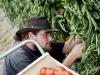 jardin-baron-lefevre-cueillette-tomates