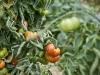 jardin-baron-lefevre-tomate-coeur-de-boeuf