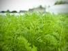 jardin-baron-lefevre-carottes