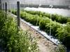 jardin-baron-lefevre-plant-de-tomate