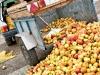 1les-producteurs-dechargent-leurs-pommes