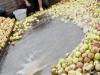 6lavage-et-triage-des-pommes-coat-albret