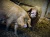 le-porc-blanc-de-louest-dans-le-finistere