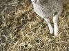 agneau-pouldon-en-bergerie
