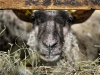 agneaux-de-pres-sales-3